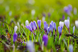 35,000 Crocus Corms have been planted in Guernsey by Bernie's Gardening Services