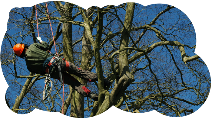 Tree surgeon Guernsey in harness climbing up a tree and pruning it.