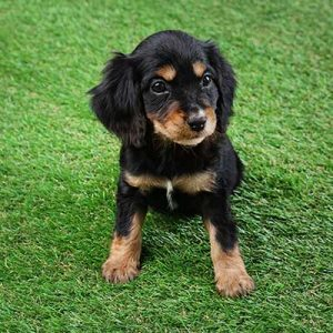 Cute English Cocker Spaniel puppy sitting on artificial grass.