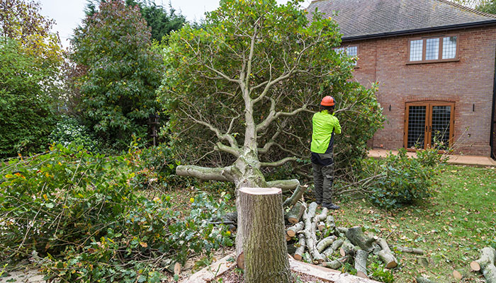 Tree surgeon in Guernsey cut down an oak tree in in a garden near a house. The stump is in the foreground with ring in the wood.