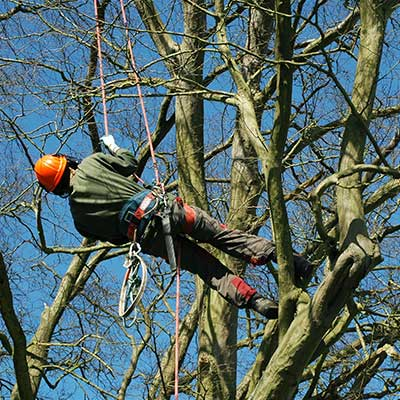 Our team of skilled tree surgeons can carrying out tree surgery in guernsey.